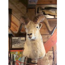 Dahl Sheep Ram Mount