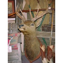 Rare 1900s Merriam Elk Mount