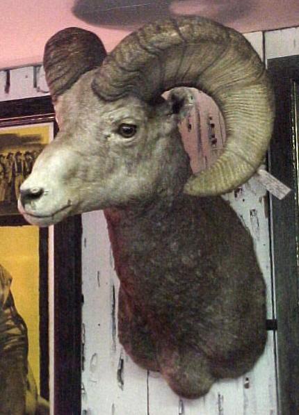Big Horn Sheep taken in 1915 Pikes Peak, Colorado