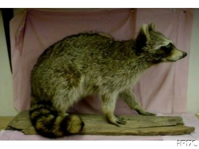 "Racoon Full Life Size Mount 24"" on log"