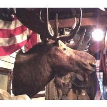 110 yr old XL Moose Shoulder Mount 5' Across Rack